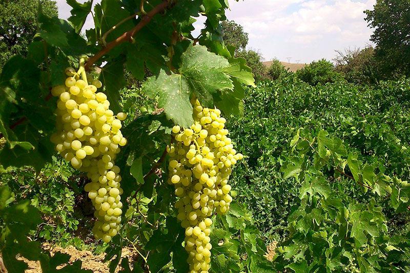 مبارکه نخستین تولید کننده انگور در استان